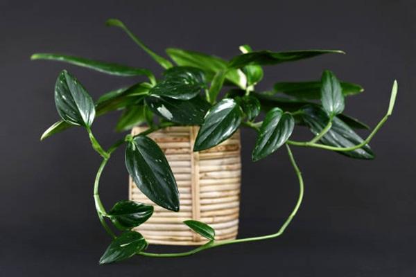 Monstera standleyana in pot against grey background