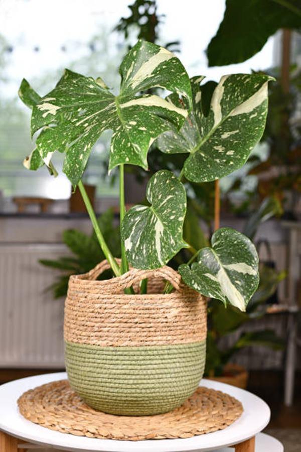 Monstera variegata in a basket