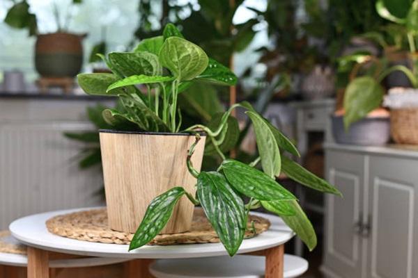 Monstera karstenianum growing in pot on tabletop