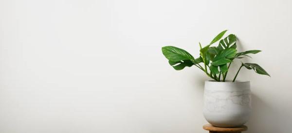 Monstera pinnatipartita in a white pot