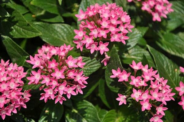 Pentas Lanceolata blooms close-up
