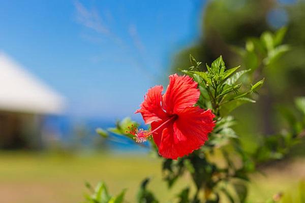 Hibiscus flower in full sun