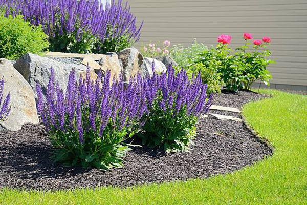 Salvia (sage) growing in residential garden