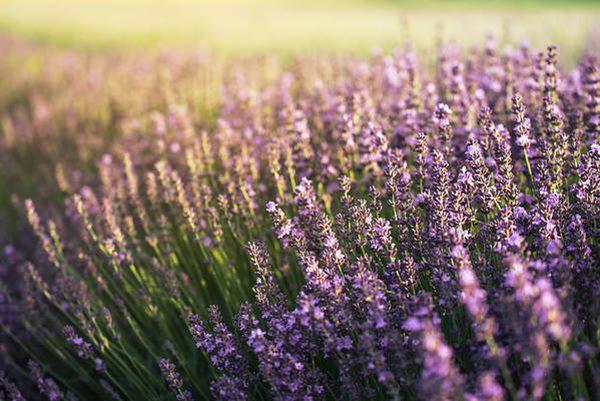lavender blooming in field
