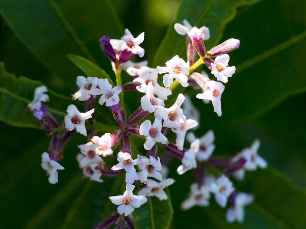 lemon verbana blooms close-up