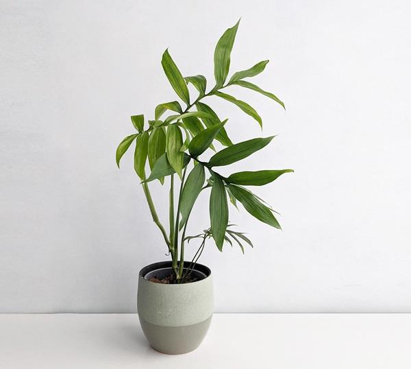 Monstera subpinnata growing in pot