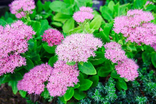 sedum blooms close-up