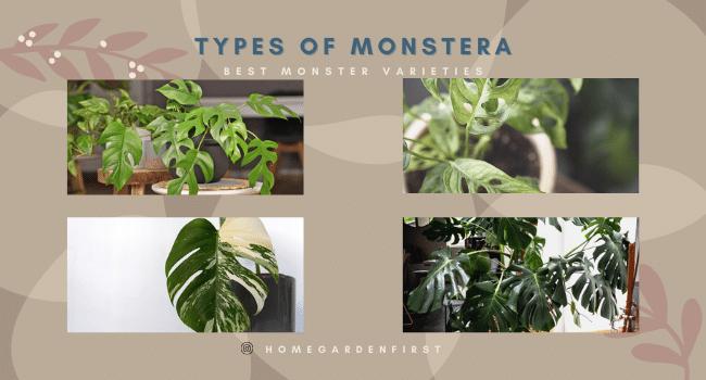 types of monstera