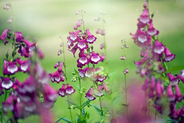 Penstemon blooms close-up