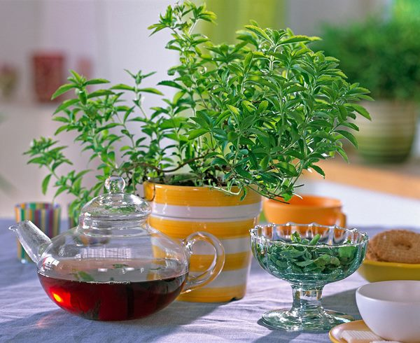 lemon verbena indoors in a pot