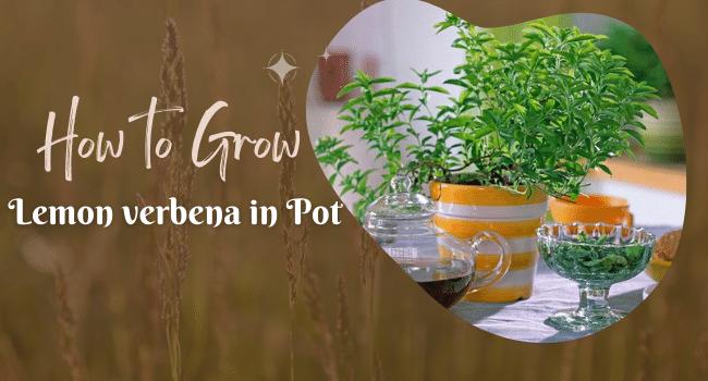 how to grow lemon verbena in pot